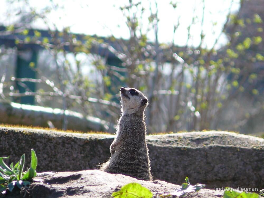 meerkat by lindseysalleyman