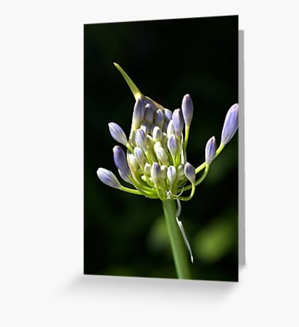 A Glow On Agapanthus Greeting Card