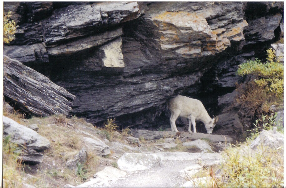 Dall's Sheep by clairet