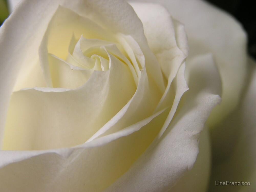 Pure White Rose by LinaFrancisco
