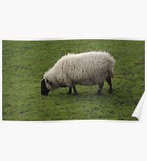 Cute sheep Poster