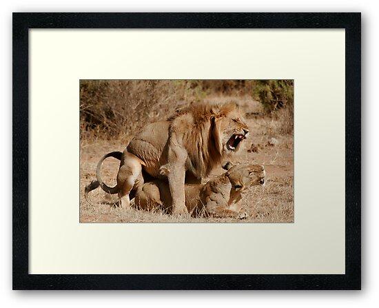 Lion Love by Steve Bulford