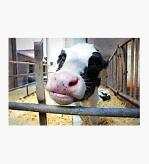 Silly Baby Cow Photographic Print