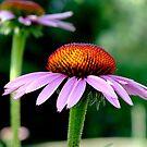 Echinacea purpurea by Luis Correia
