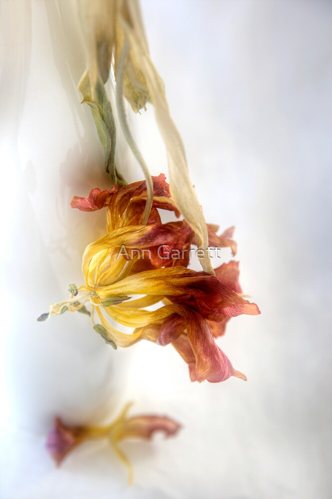 Faded Tulip by Ann Garrett