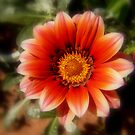 Dahlia Beauty by tonyphoto