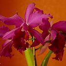 Purple Cattleya by photorolandi