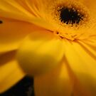 Beautiful Gerbera from a Bouquet - gift* by EdsMum