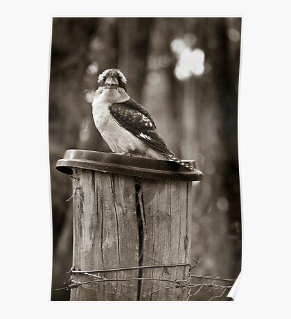 Country Kookaburra Poster