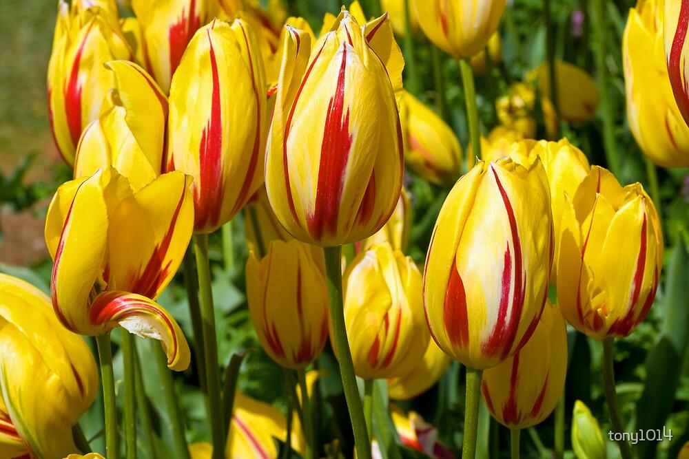Tulips in full glory by tony1014