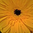 Gerbera from bouquet - quite beautiful  by EdsMum