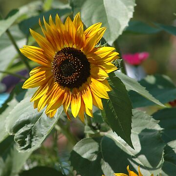 Sunflower by Foxfire