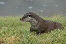Otter in Winter (Lutra Lutra) by Foxfire