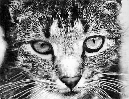 Tabby Cat Pencil Drawing by onlypencil