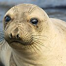 Northern Female Elephant Seal by Eyal Nahmias