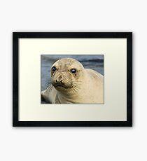 Northern Female Elephant Seal Framed Print