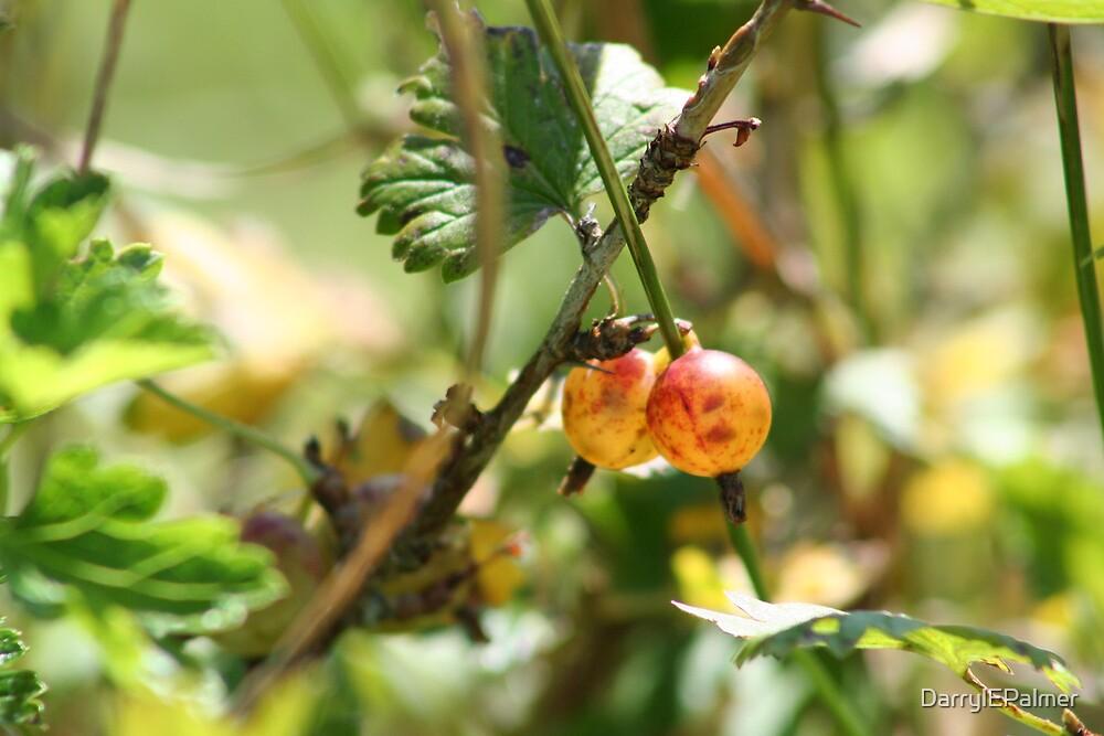 Gooseberries in Nan's garden by DarrylEPalmer