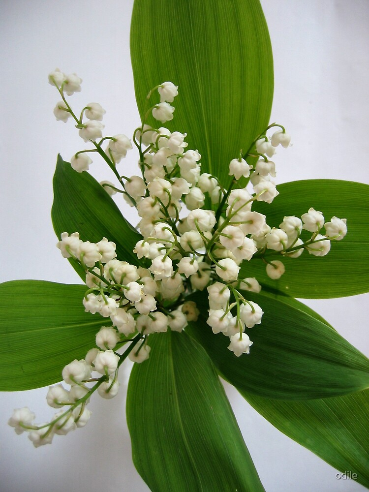 lily of the valley by odile