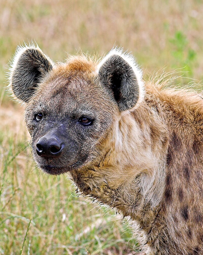 Spotted Hyena by kitlew
