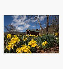 Daffodils and Covered Bridge Photographic Print