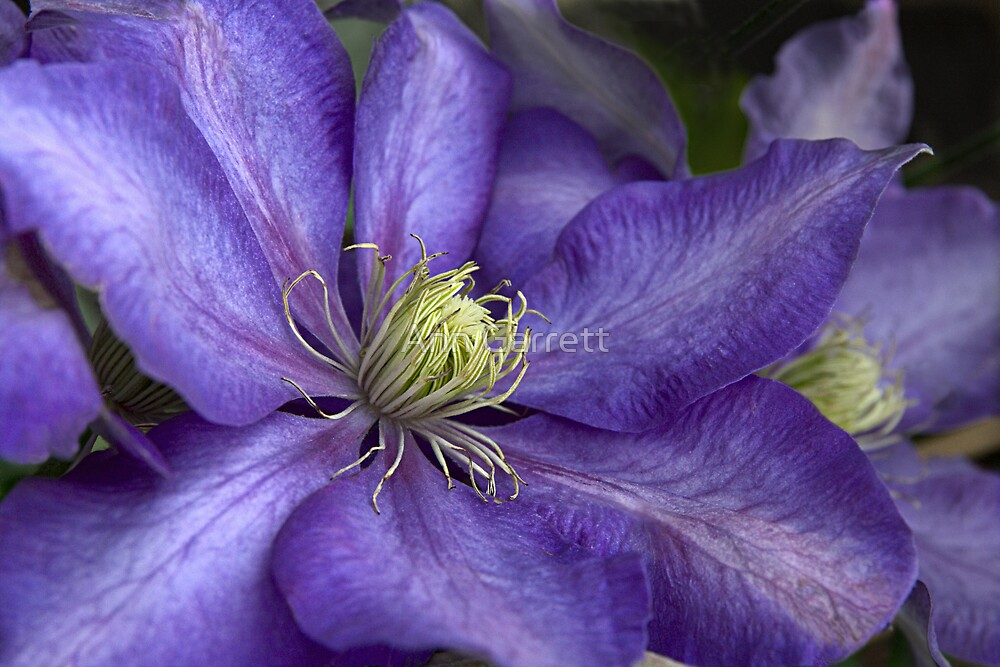 "Purple Clematis - Close-up - ""Daniel Deronda"" by Ann Garrett"