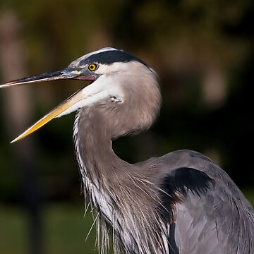 Great Blue Heron Angry by DeloresKnowles