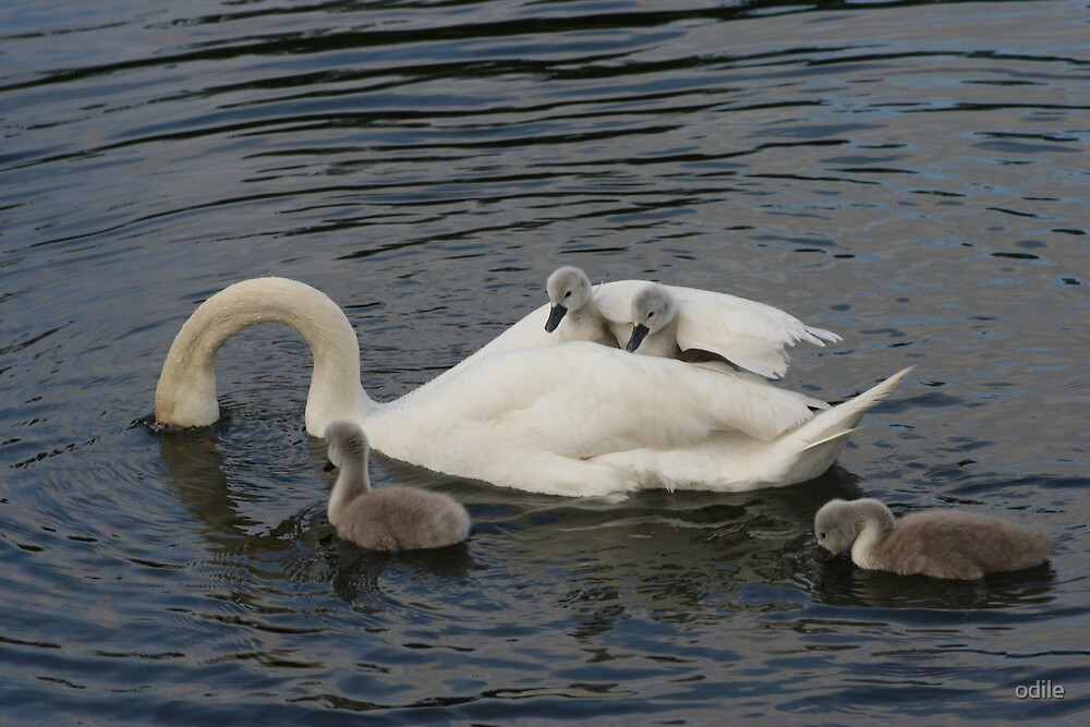 swan family  by odile
