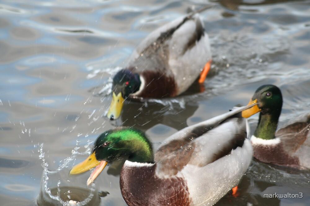 ducks at feeding time by markwalton3