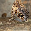 BROWN BUTTERFLY by FSULADY
