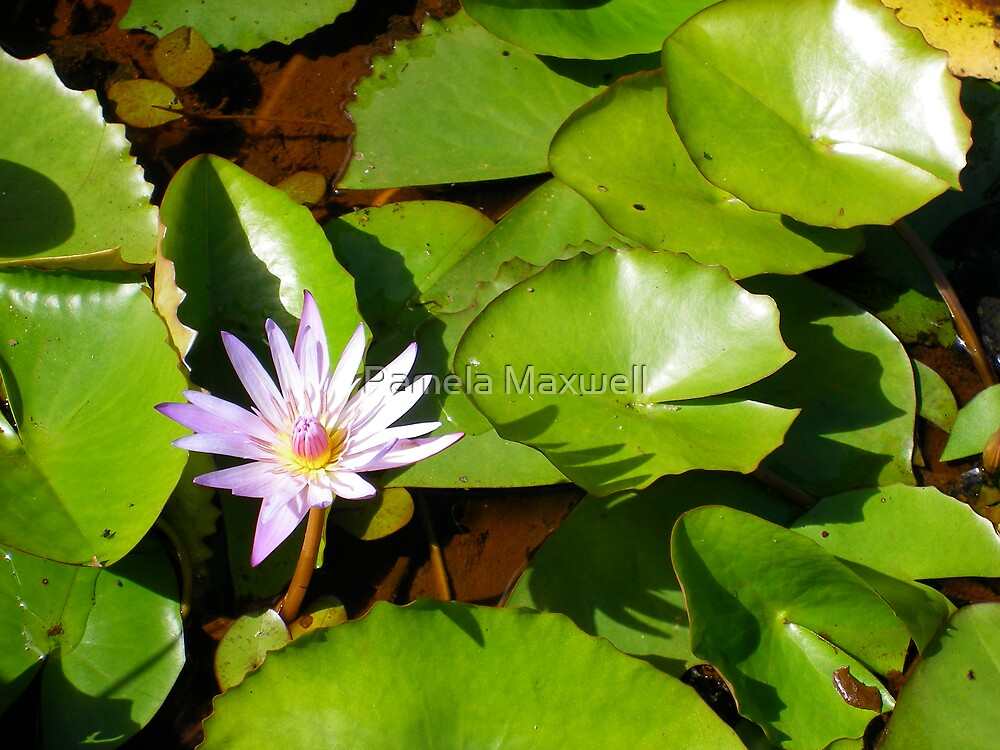 Lily in the Water by Pamela Maxwell