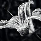 Lily in Black & White by Ljartdesigns