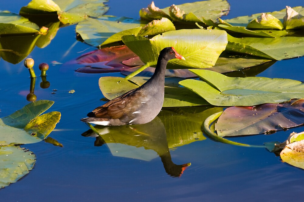 Gallinule on Lily Pad by Delores Knowles