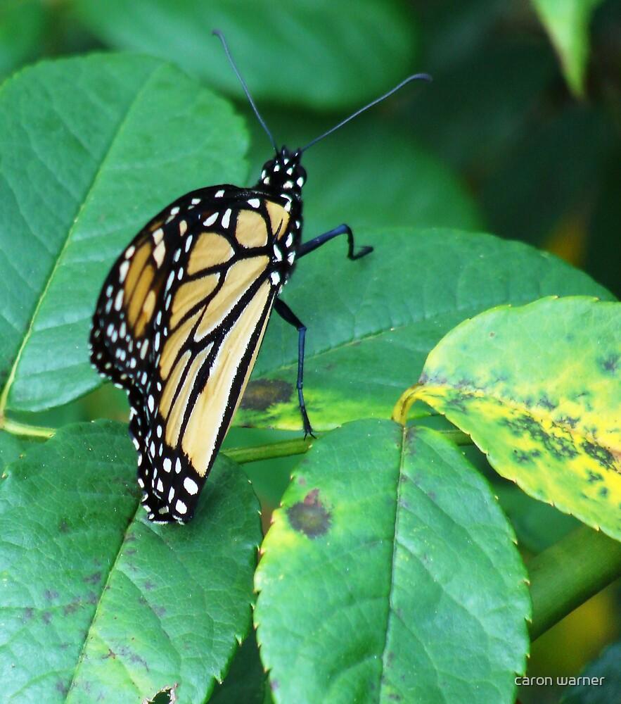 monarch by caron warner
