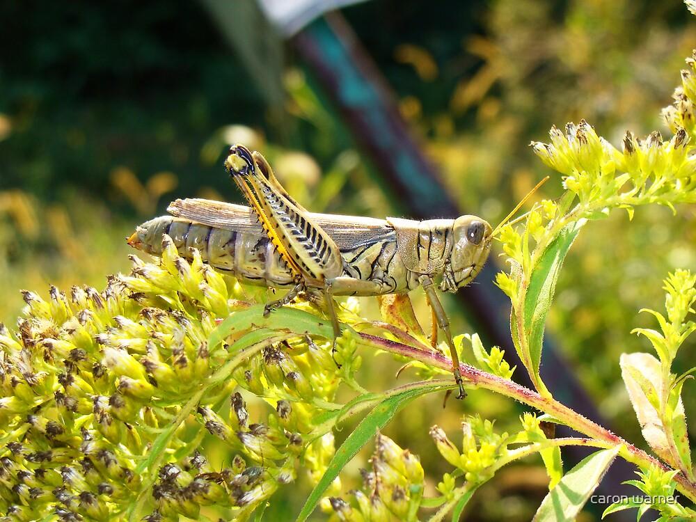grasshopper by caron warner