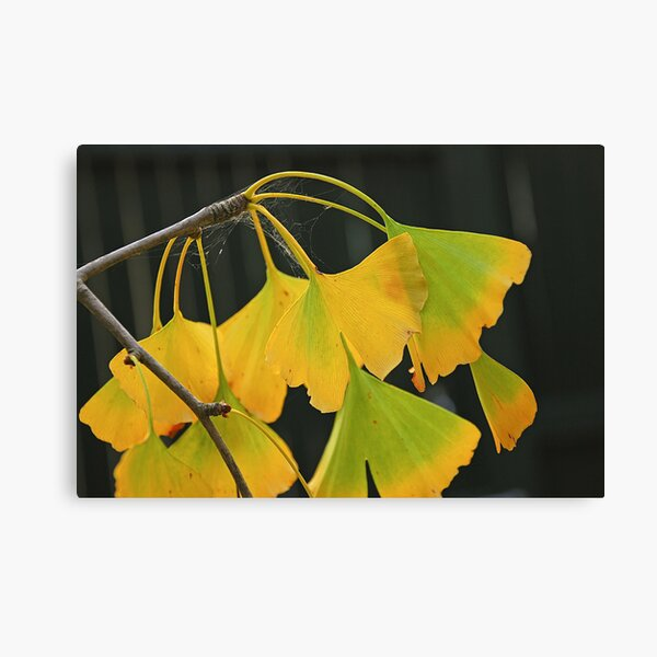 Autumn Ginkgo Canvas Print
