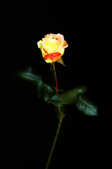 just a rose by VanessaHall