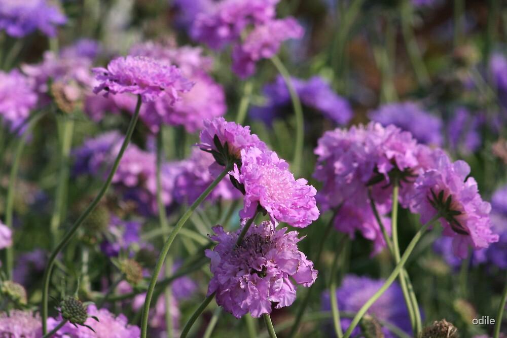 purple flowers by odile