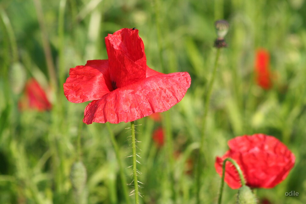 poppies by odile