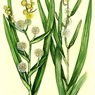 Branched and Simplestem Bur-reed - Sparganium species by Sue Abonyi