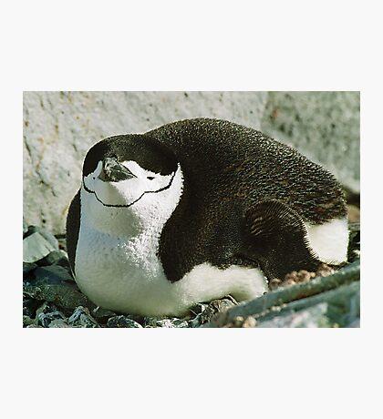Chinstrap Penguin Photographic Print