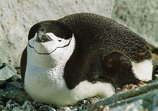 Chinstrap Penguin by Steve Bulford