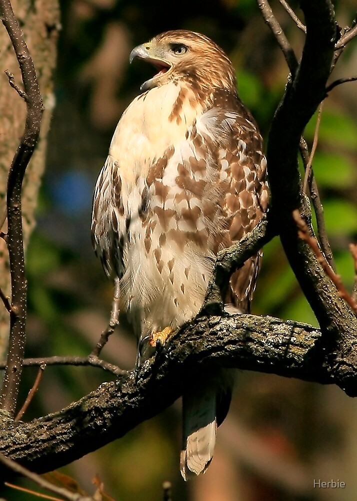 Red Tailed Hawk by Herbie