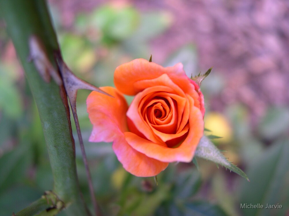 Pink Rose by Michelle Jarvie