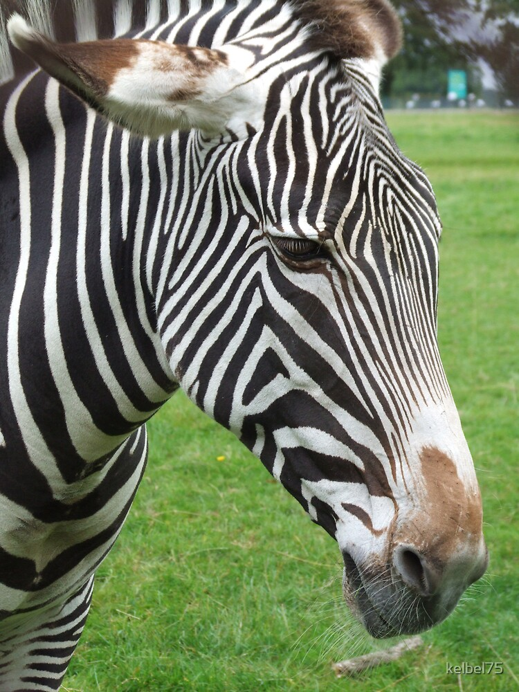 Zebra by kelbel75