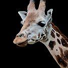 Giraffe - Portrait by Glen Allen