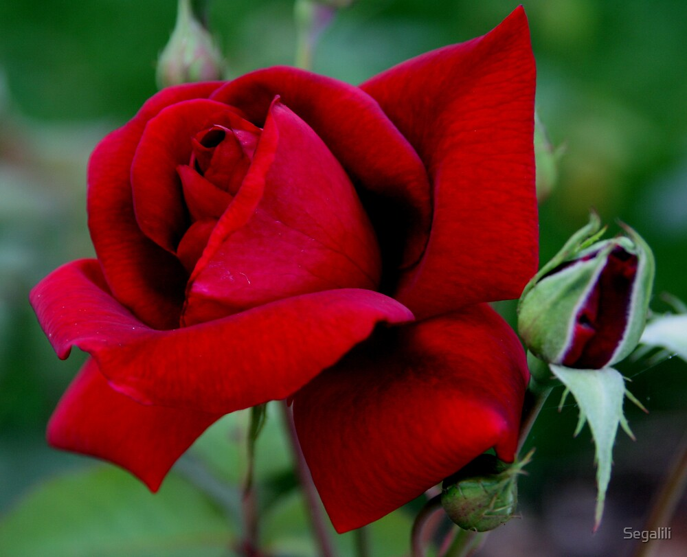 A Red Rose to My Loved Ones by Segalili