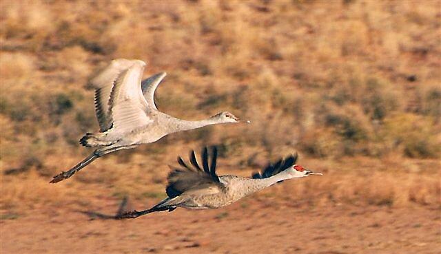 Sandhill Cranes on the Wing by raptrlvr