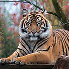 Tiger - Pano by Glen Allen
