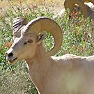 Big Horn Sheep by Patty Lewis