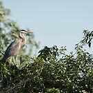 Great Blue Heron  2015-18 by Thomas Young